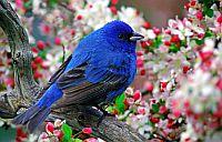 boldoság kék madara