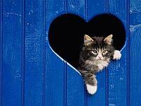 cica, macska