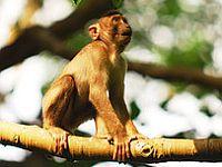 majom a fán