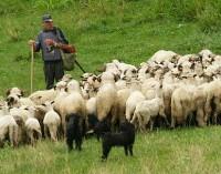 pásztorfiú