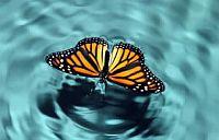 pillangó, harmat