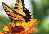 ahogy érzem, pillangó