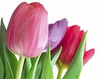 nőnap virág tulipán